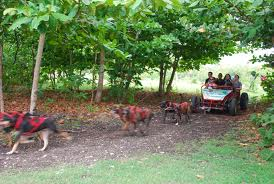 Jamaica dogsled  (photo credit stunnerj http://www.flickr.com/photos/stunnerj/)